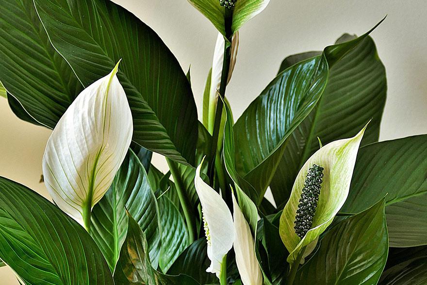 Skrzydłokwiat - dekoracyjne liście i kwiaty