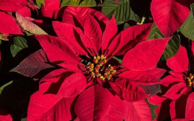 Gwiazda betlejemska – świąteczna roślina