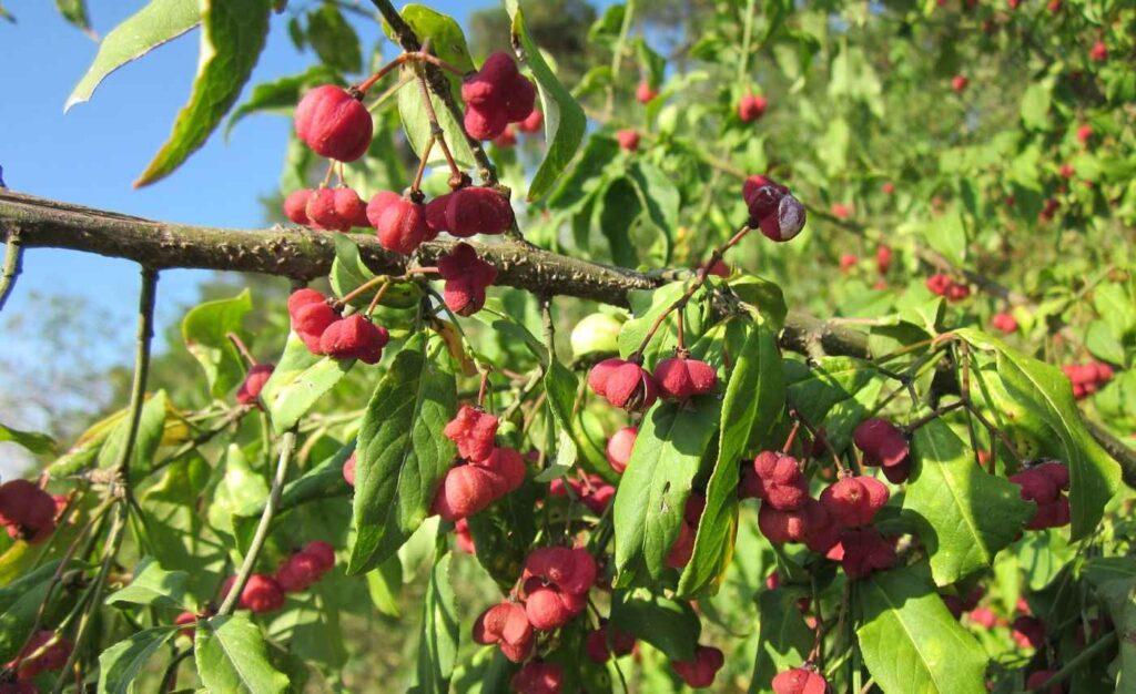 trzmielina pospolita ma trujące owoce