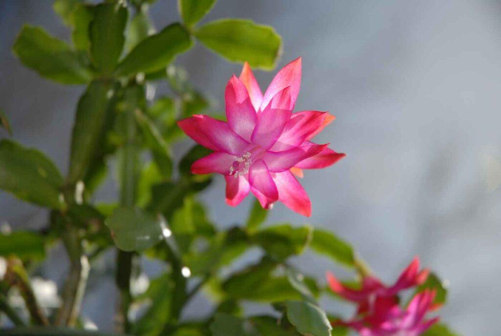 Atutem grudnika są zarówno oryginalne łodygi jak i piękne kwiaty