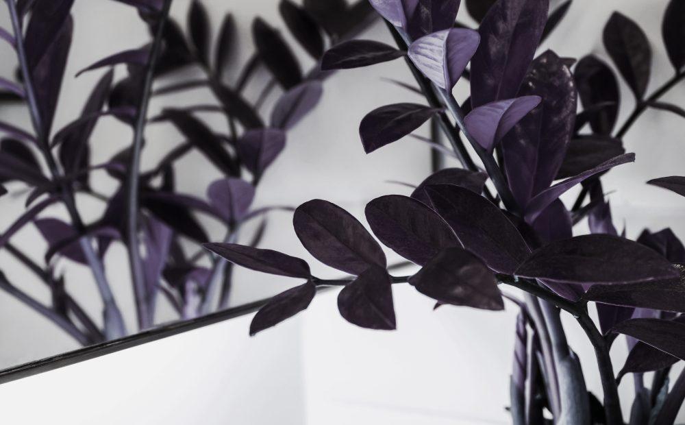 Zamiokulkas raven wyróżnia się ciemnymi liśćmi