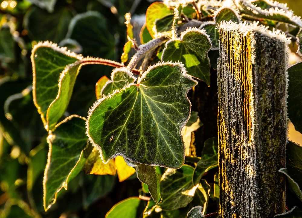 Efektownie wygląda w zimozielonych ogrodach